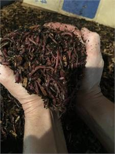 One pound composting/bait worms $28